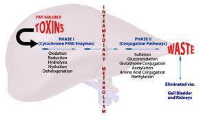 liver processes